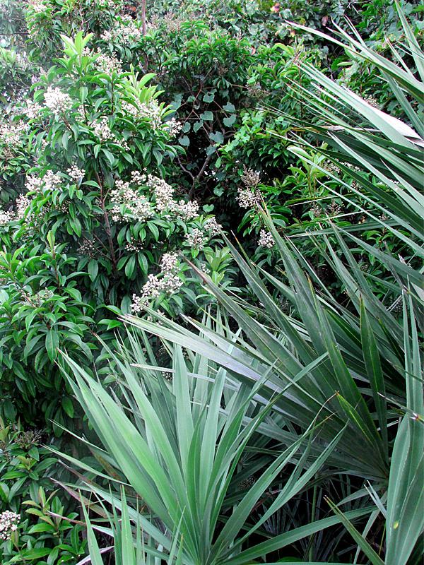 !ardisia-escallonioides-w-serenoa-vertical