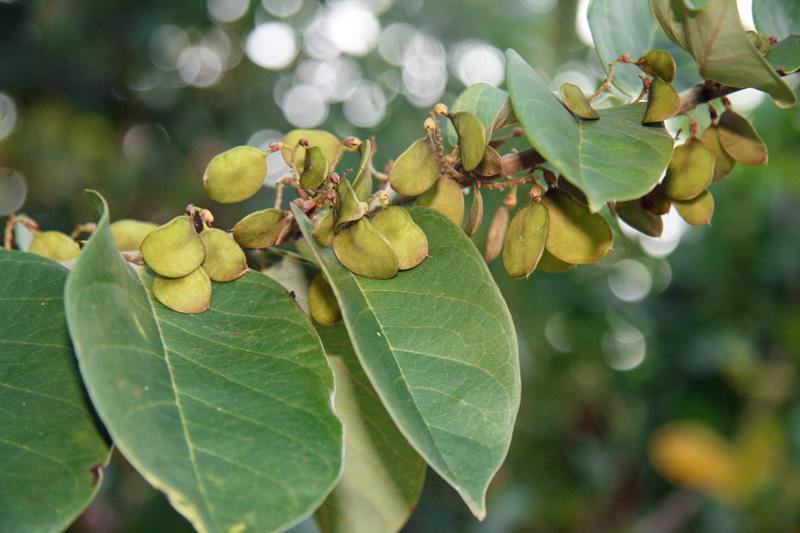 !!!!dalhbergia-ecastophyllum-(4)