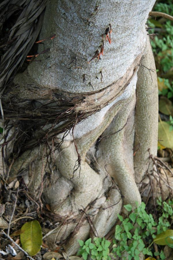 !ficus-aureum-roots-(2)