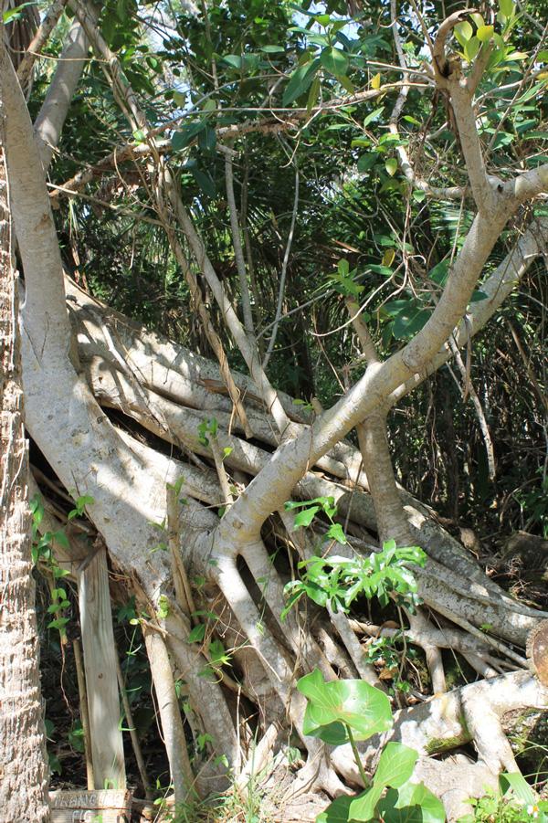 !ficus-aureum-roots-by-karen-schuster-@sisp