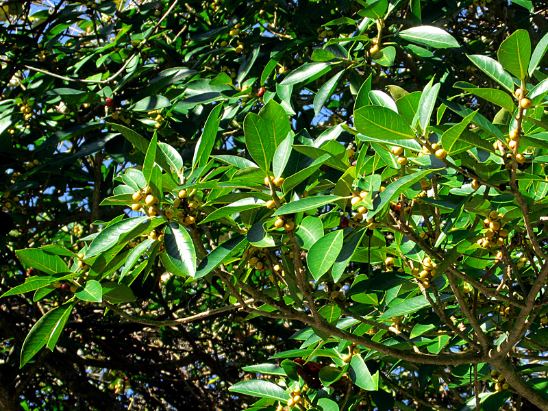 !ficus-aureum-unripe-fruits