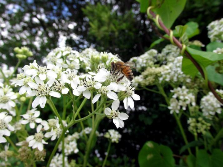 !verbesina-virginica-with-bee