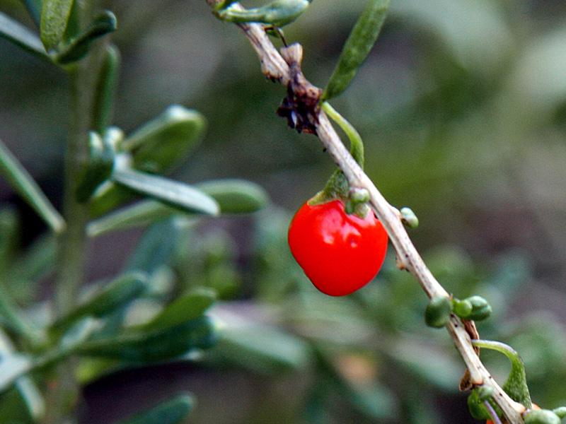 !lycium-caronianum-fruit