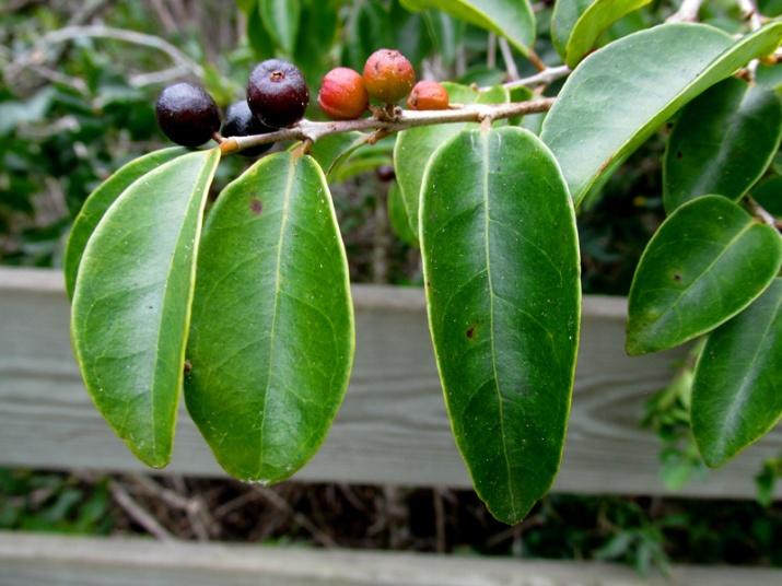!eugenia-axillaris-fruit