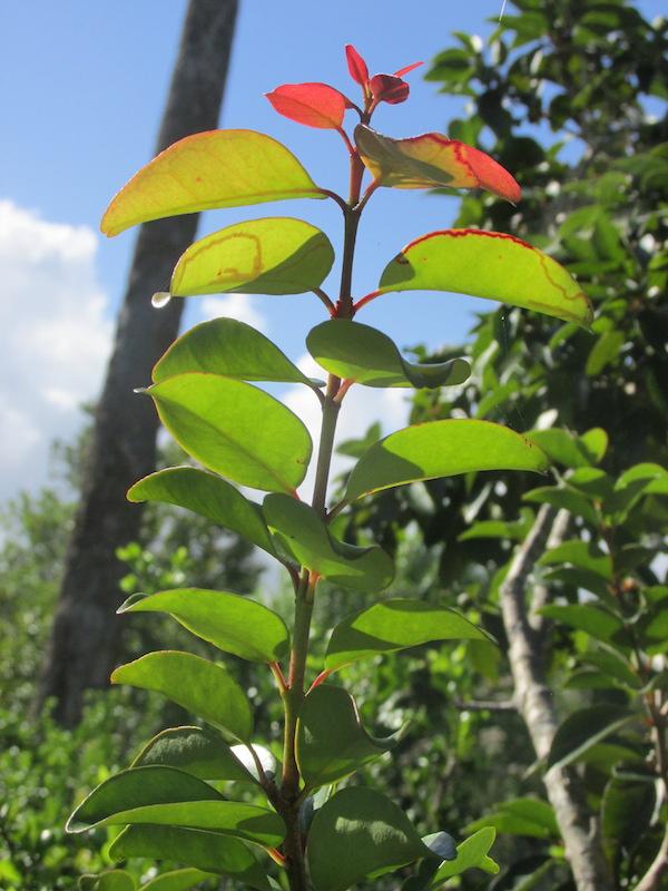 eugenia axillaris - red leaves