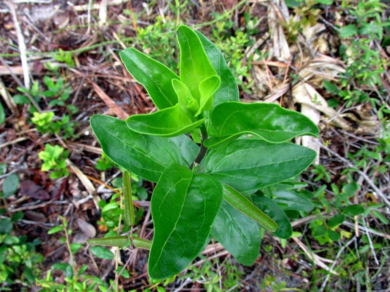!palafoxia-foliage