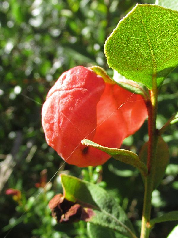 !red-exobasidium-gall