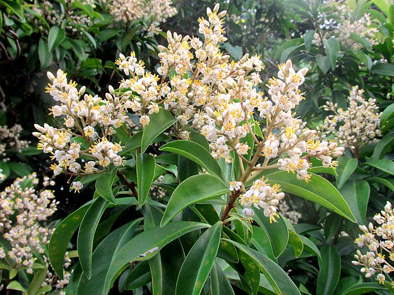 !ardisia-ecalloniodes-flowers