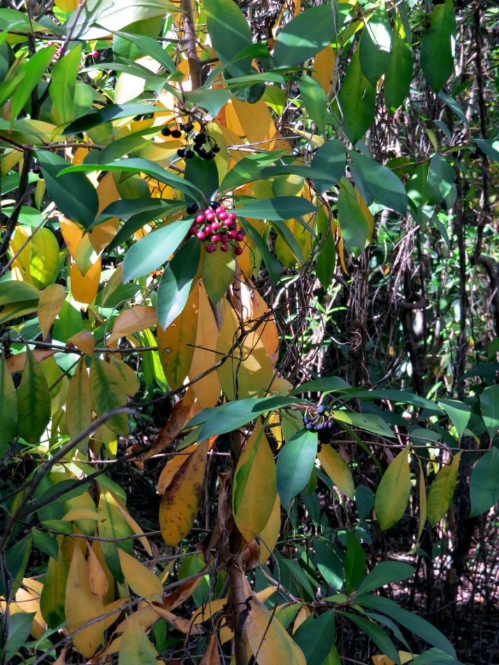 !!ardisia-elliptica-at-AH-after-herbicide-treatment