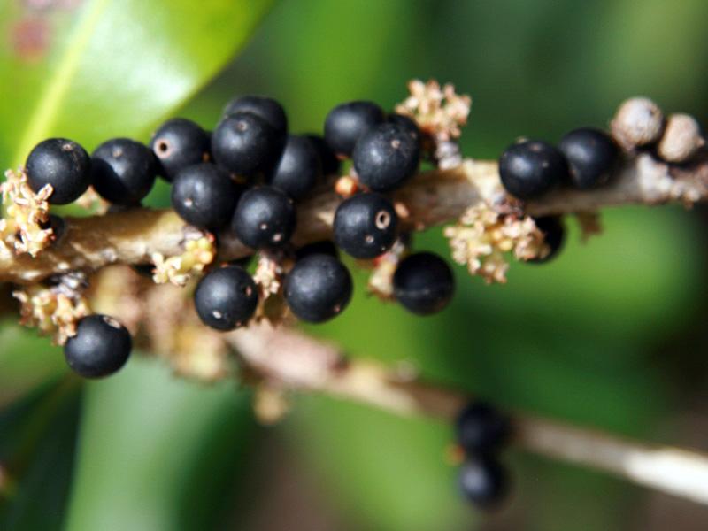 !!myrsine-cubana-closeup-fruit