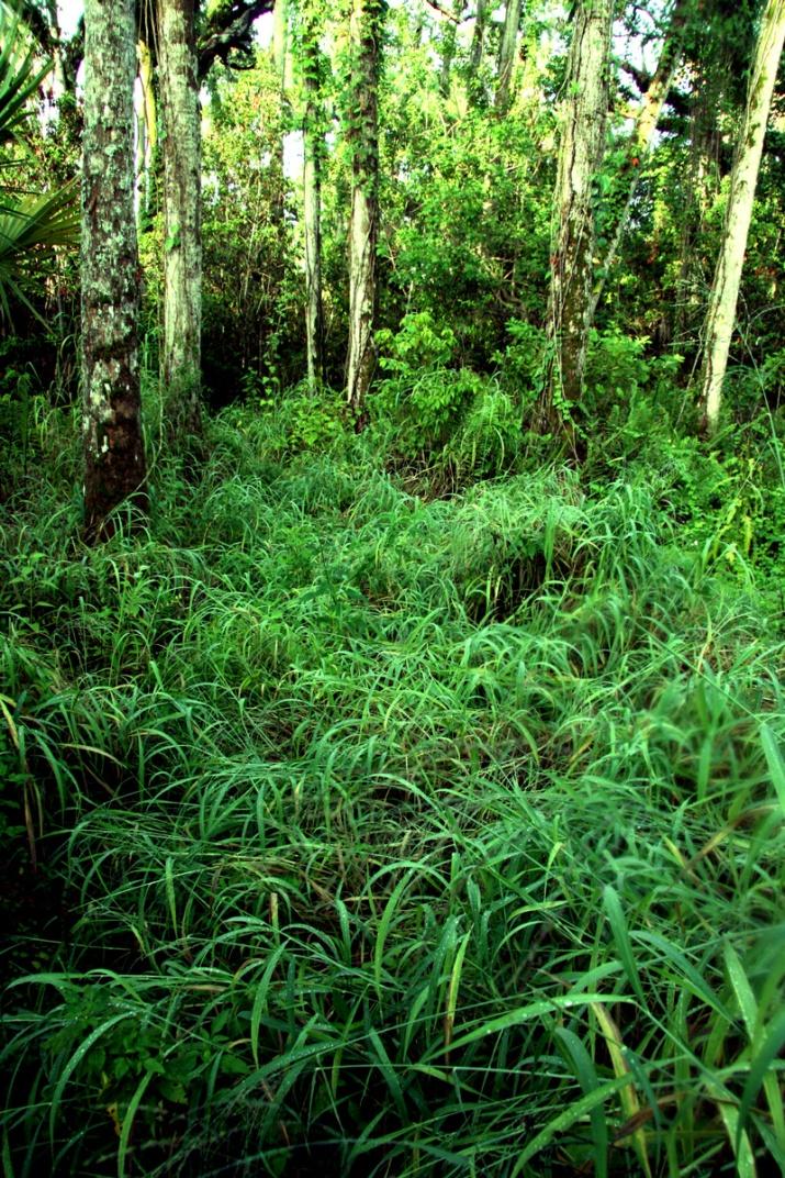 !!panicum-maximum-on-herb-kale-trail