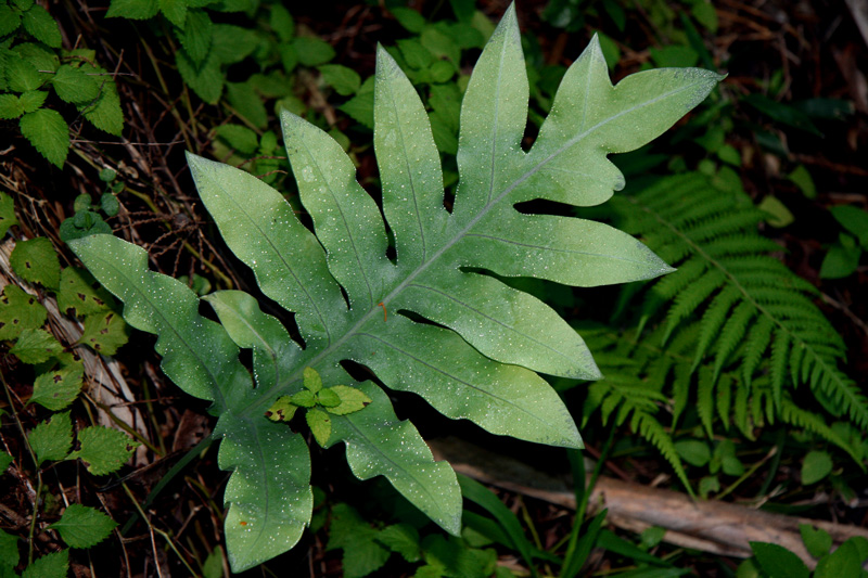 !!phlebodium-aureum