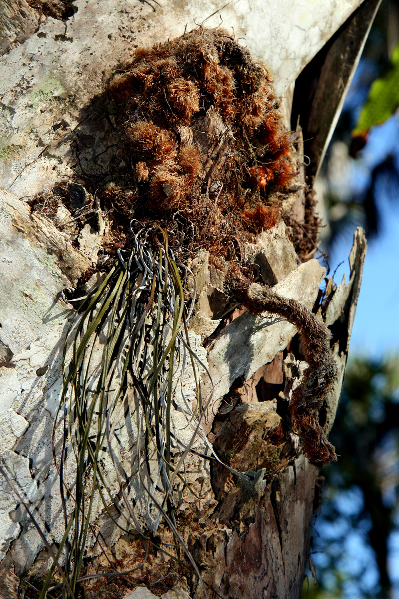 !!phlebodium-&-vittatira-on-sabal-trunk-(2)