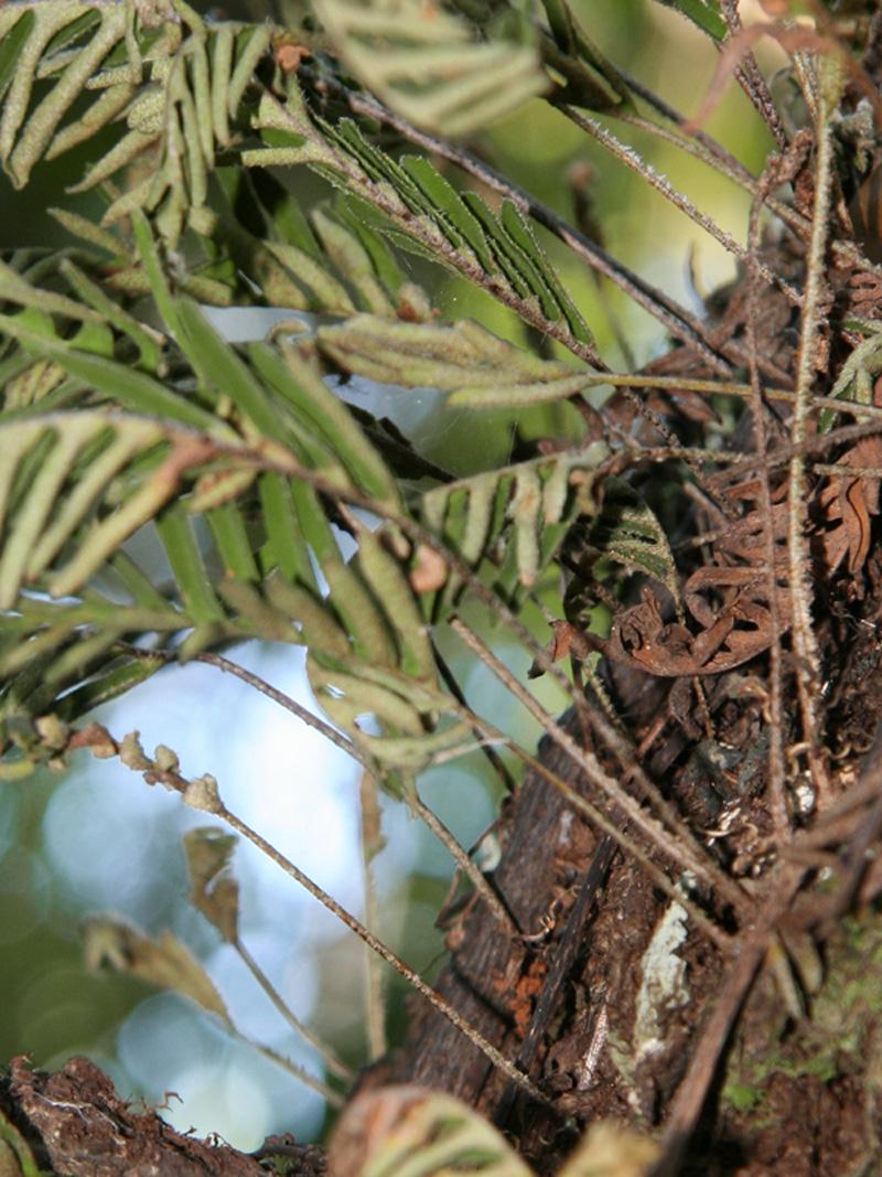 !!pleopelits-polypodioides-on-bark---vertical