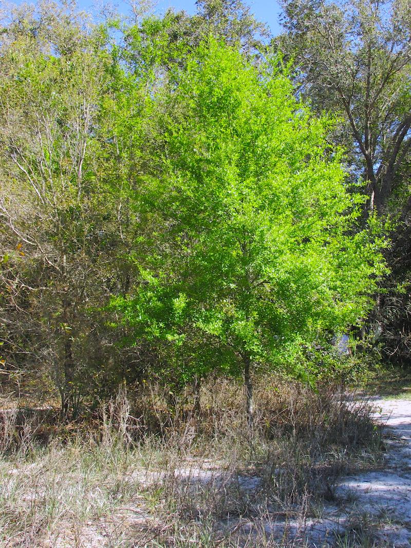 !!Quercus laurifolia copy