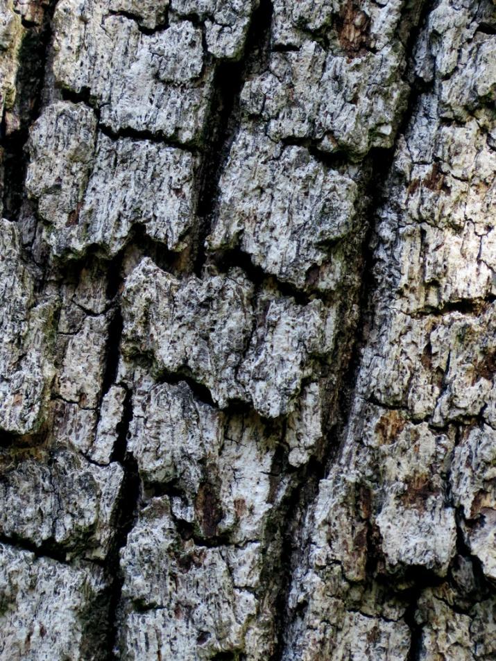 !!quercus-virginiana-bark