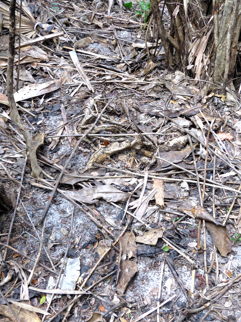 !schefflera-dead-leaf-litter2