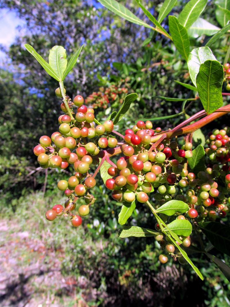 !schnius-w-unripe-fruits