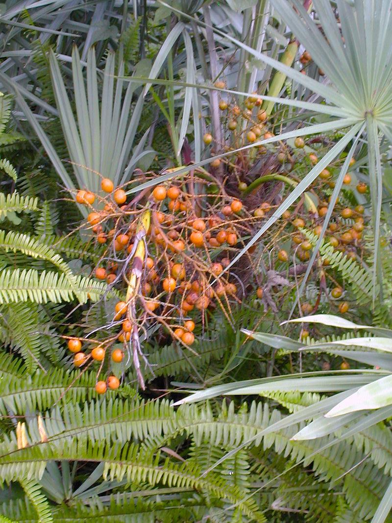 Serenoa repens - sliver blue w golden unripe fruits #2 copy