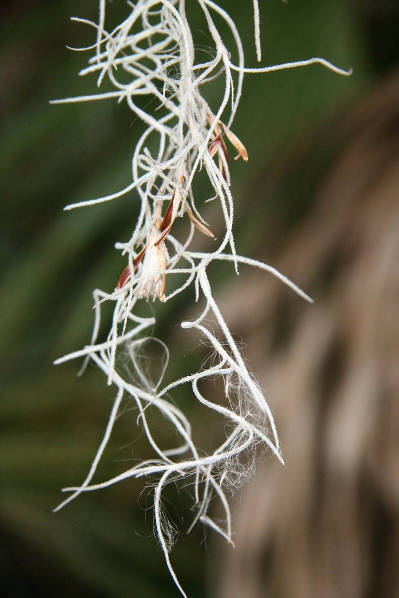 !!Tillandsia usneoides flower1 copy