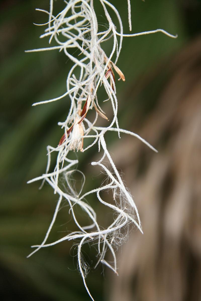 !!Tillandsia usneoides flower1 copy