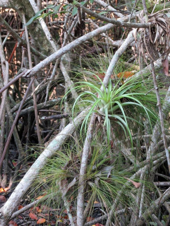!Tillandsia-utriculata-on-mangrove-propr-root