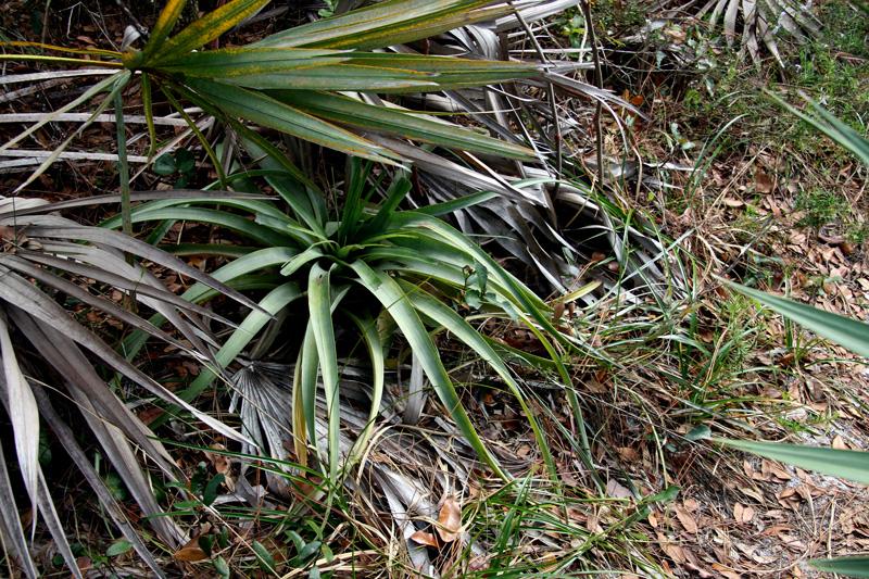 !Tillandsia-utriculata---terrestrial-at-sorca