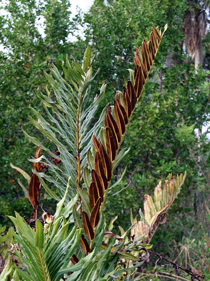 !!acrostichum-danaeifolium-habit