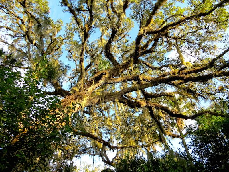orca oak cannopu 1-31-2015 copy
