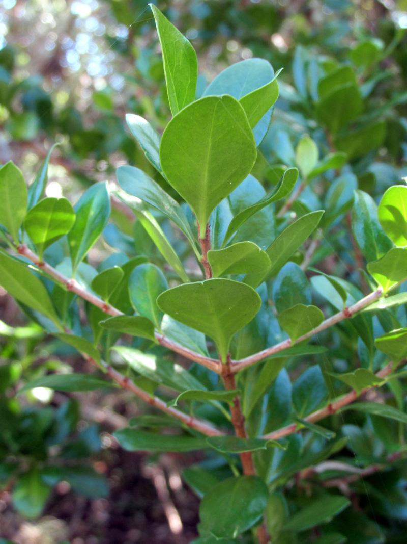 !!randia-aculeta-stems-&-leaves