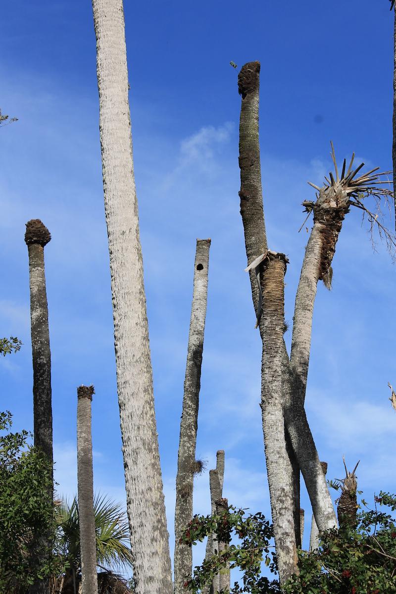 !!sabal palmetto dead due to sea level rise copy