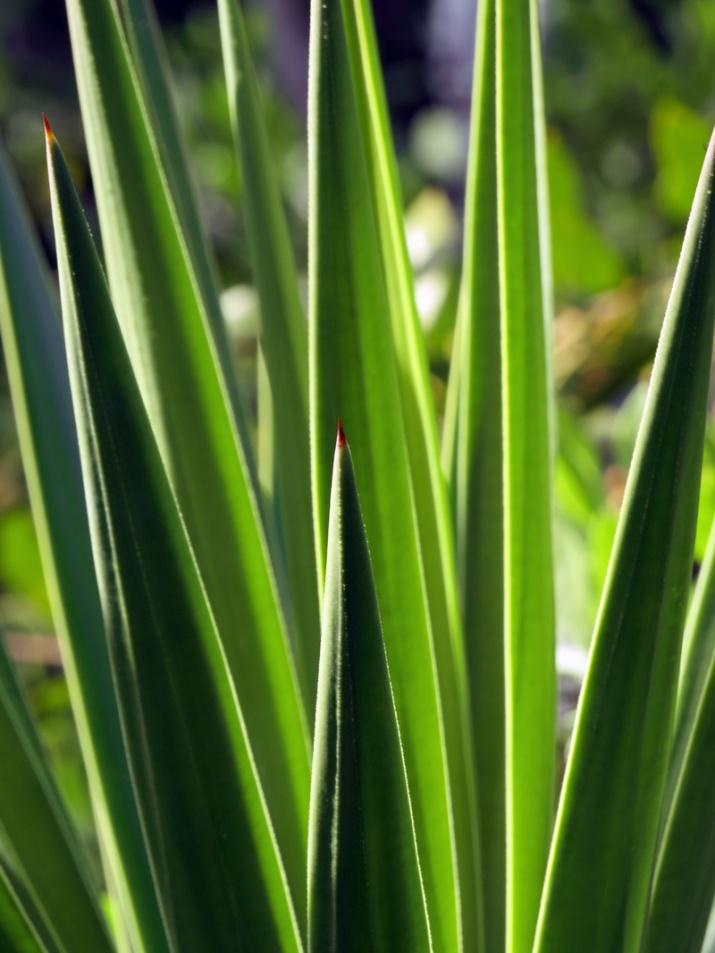 !!yucca-aloifolia