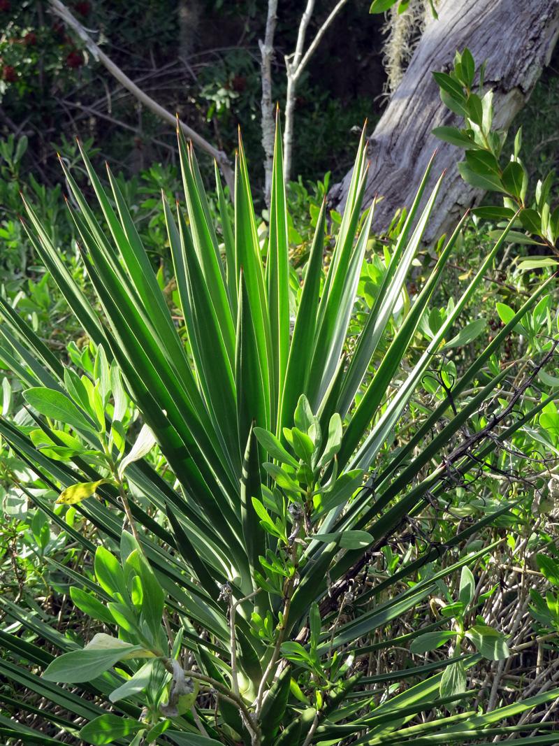 !!Yucca-aoloifolia3