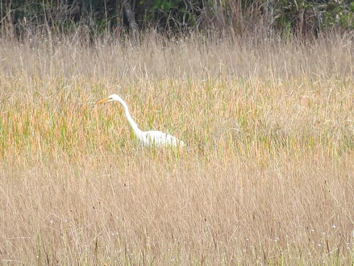 !!great-egret-@-nsca