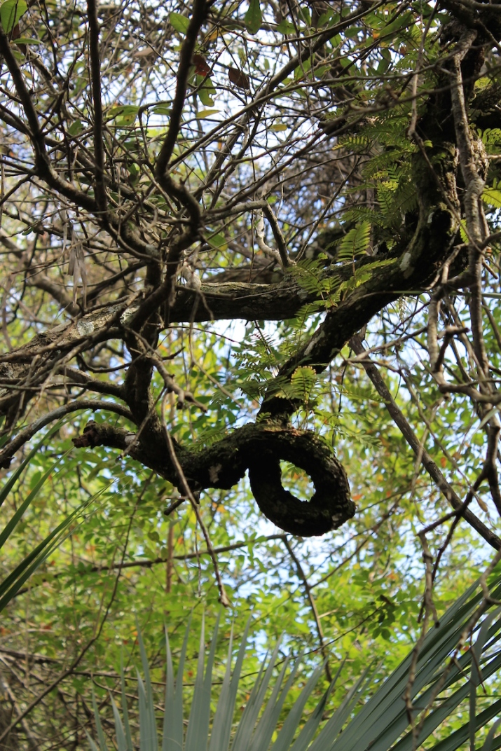!!pleopelits on vitis rotundifolia trunk by ks copy