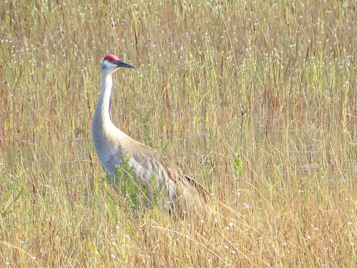 !!sandhill-crane-2