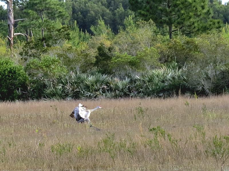 !!sandhill-crane-@-nsca