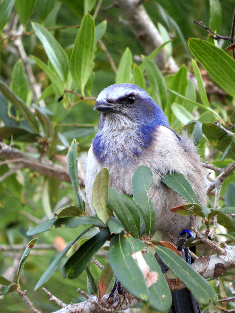 !!scrub-jay-w-blue-band