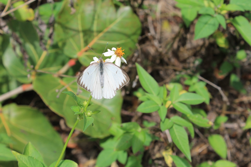 !southern white butterfly by ks at bic copy