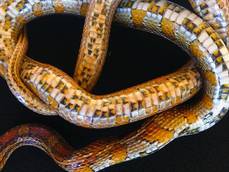 diego the corn snakeJPG