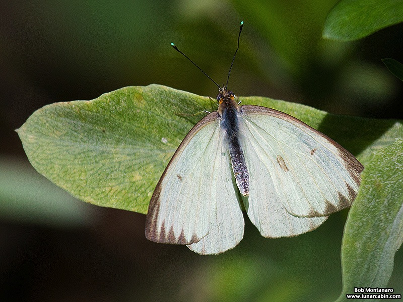 southern white butterfly - bm copy