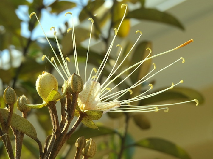 !!capparis side view