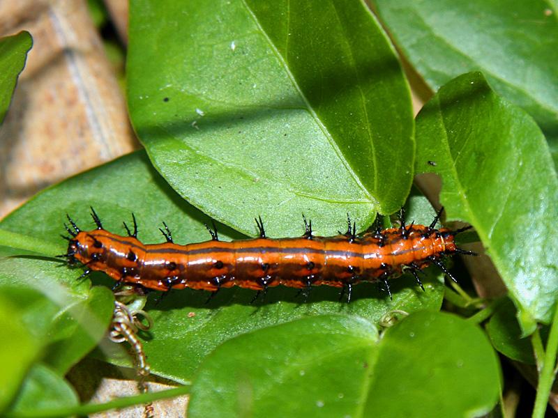 !!!!gulf-fritillary-larva-@-bic