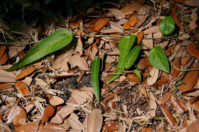 !!!passiflora-suberosa-leaves