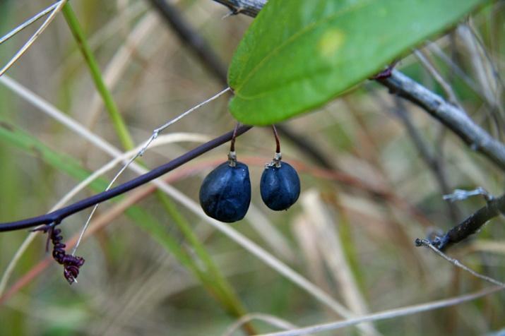 !!!!passiflora-suberosa-ripe-fruit-(8)