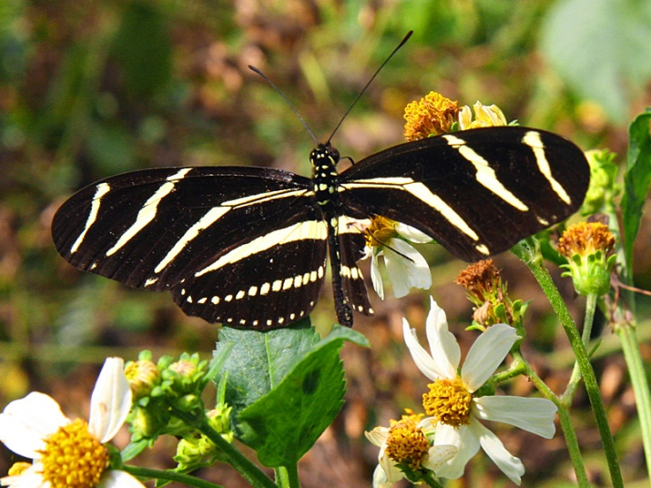 !!!!tattered-zebra-longwing