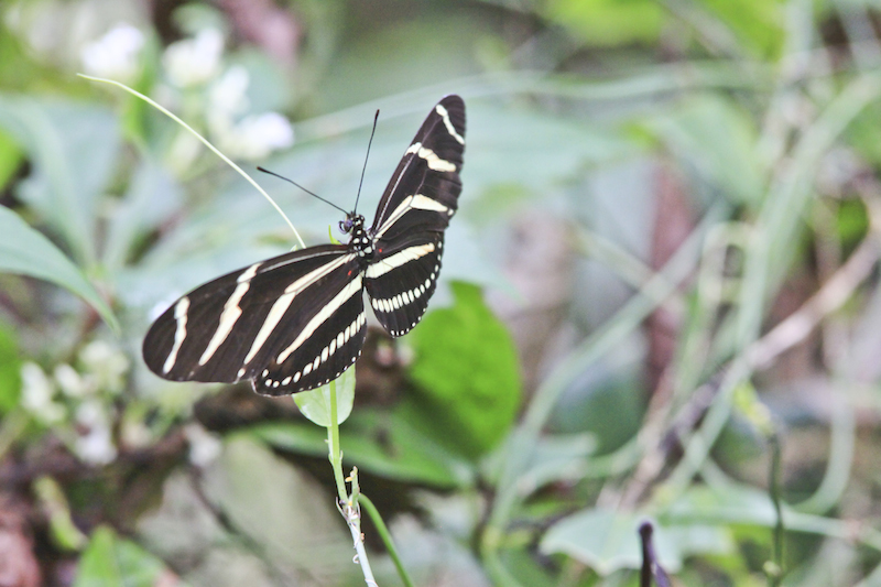 !!zebra longwing @ orca by karen schuster copy