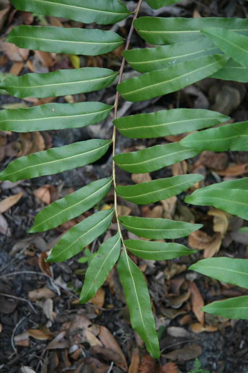 !!!!!!!acrostichium daenifolium - frond