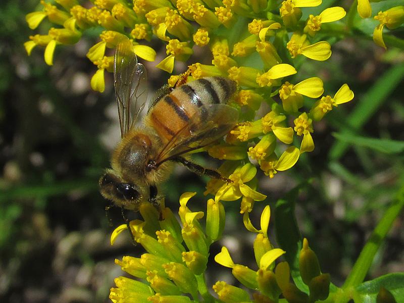 !!!!bee-on-flaveria-closeup
