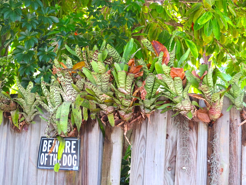 exotic bromeliads on fence copy